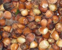 Hazelnut Bush For Sale